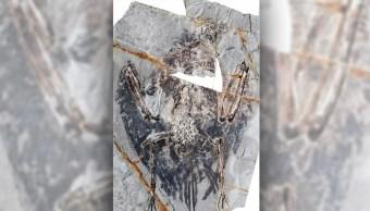 Hallan pulmón fosilizado de ave de la era de los dinosaurios