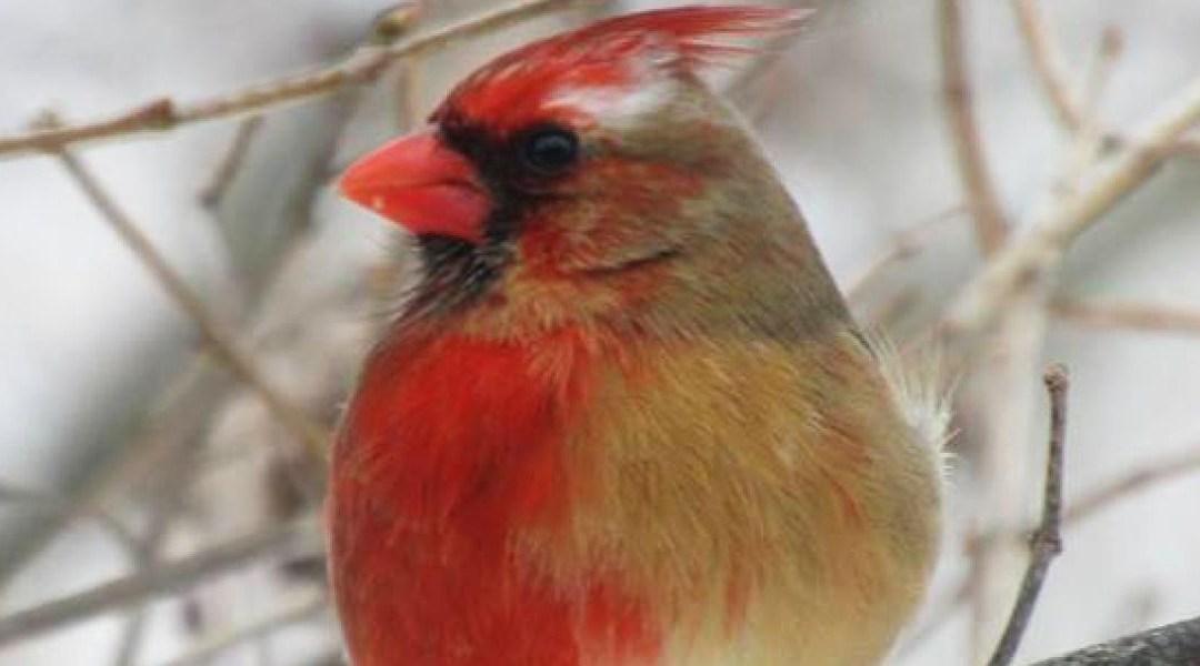 imagen de un cardenal macho hembra