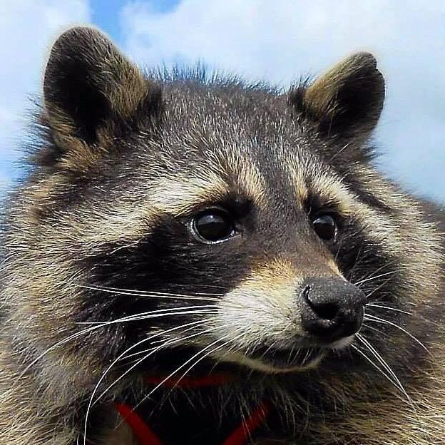 Murió Oreo, inspiración de los mapaches de los Guardianes de la Galaxia