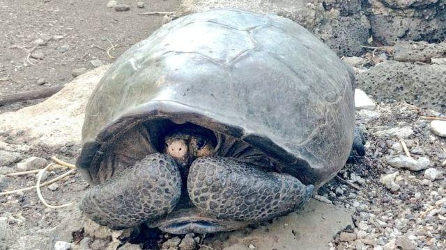 tortuga gigante Fernandina