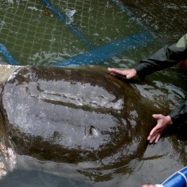 Tortuga Gigante, Caparazón Blando, Yangtzé, Extinción