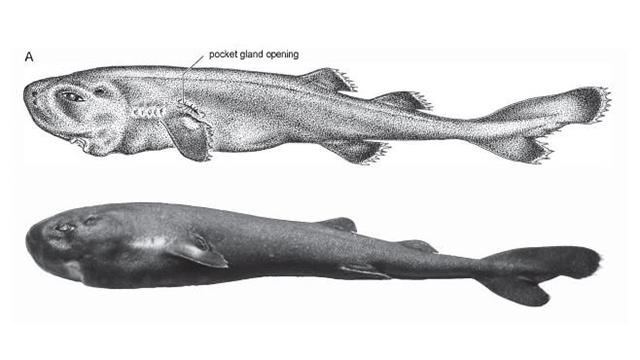 Tiburón Bolsillo Luminiscente