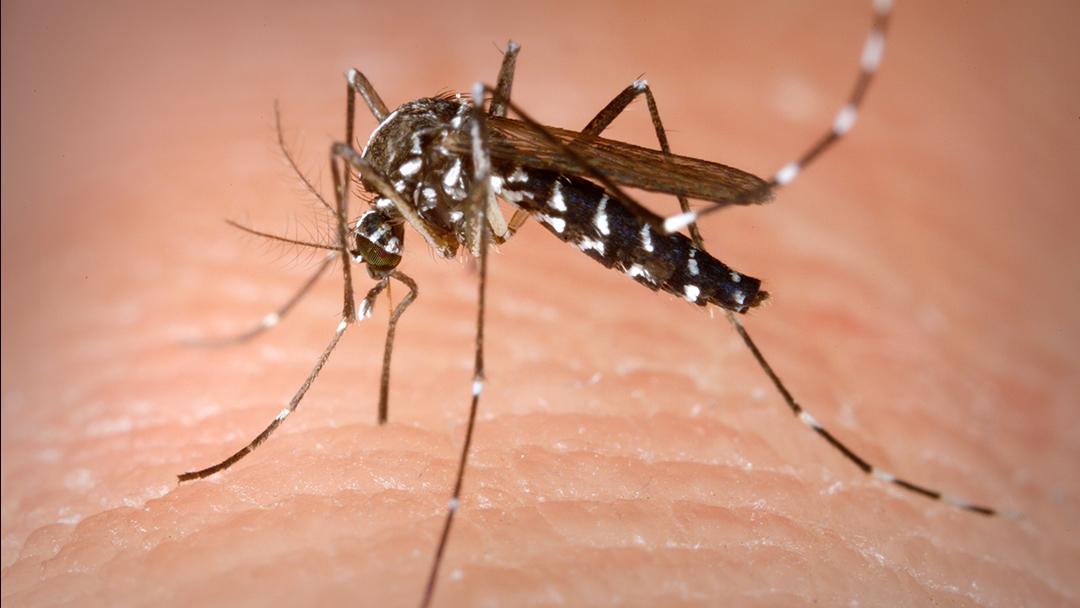 Mosquito Tigre Asiático