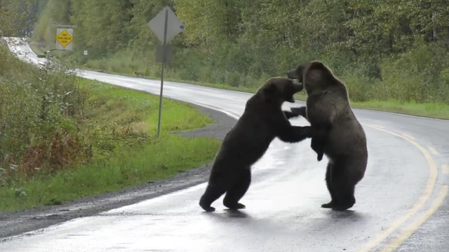 20/09/19, Oso Grizzly, Pelea Carretera, Canadá, Video