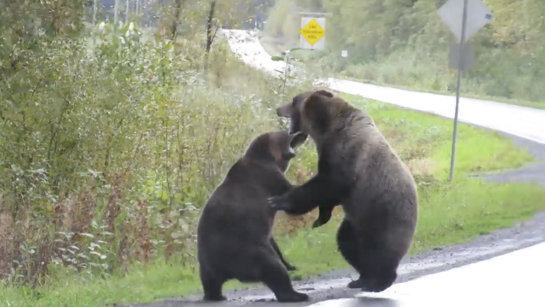 20/09/19, Oso Grizzly, Pelea Carretera, Canadá, Video