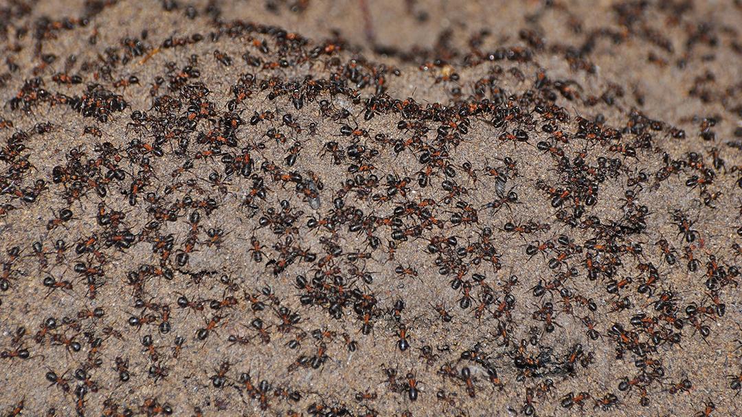 Hormigas Caníbales Búnker