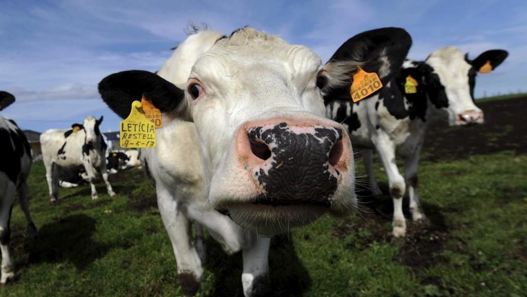 Mu de las vacas tiene significado