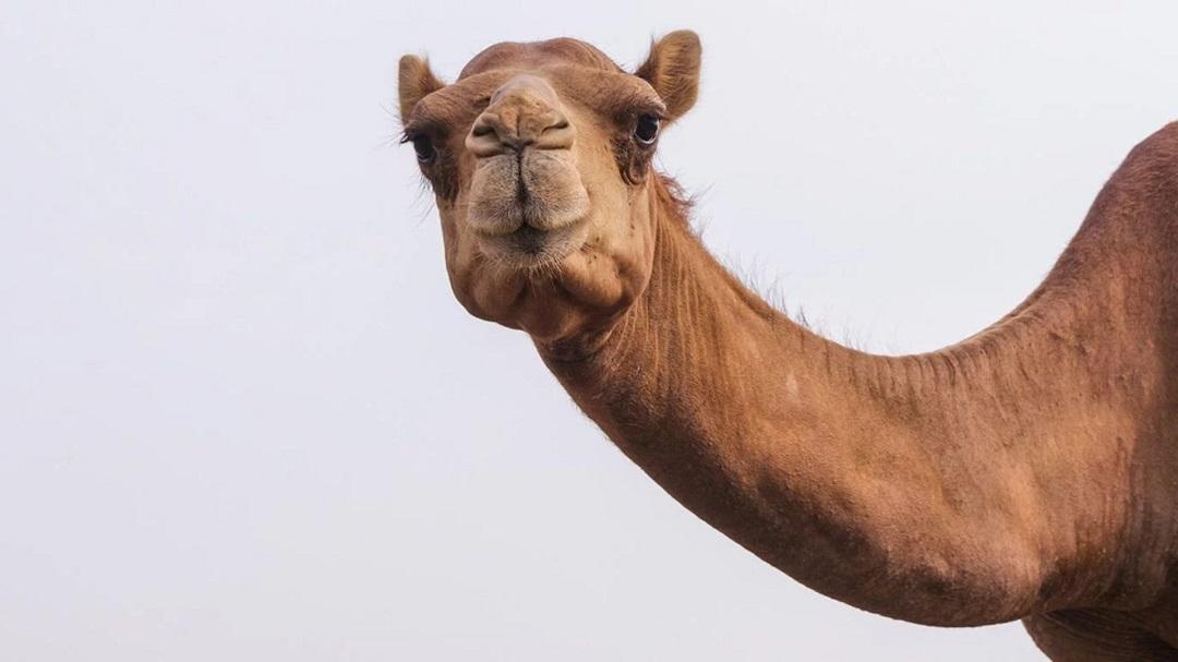 Camellos Sacrificados Australia