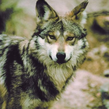 Lobo Mexicano Peligro de Extinción Crías