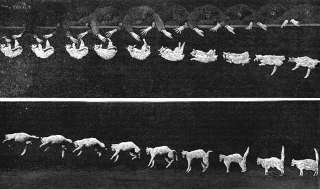 Por qué los gatos siempre caen de pie