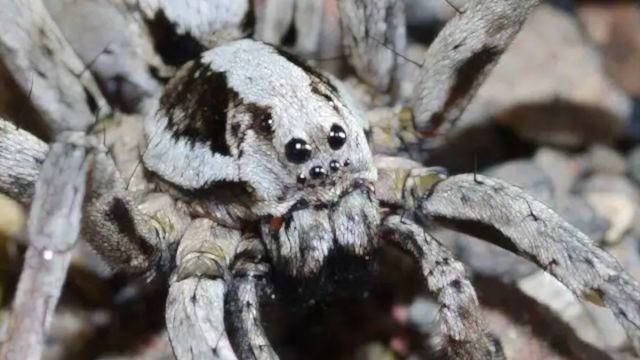 Araña zorro