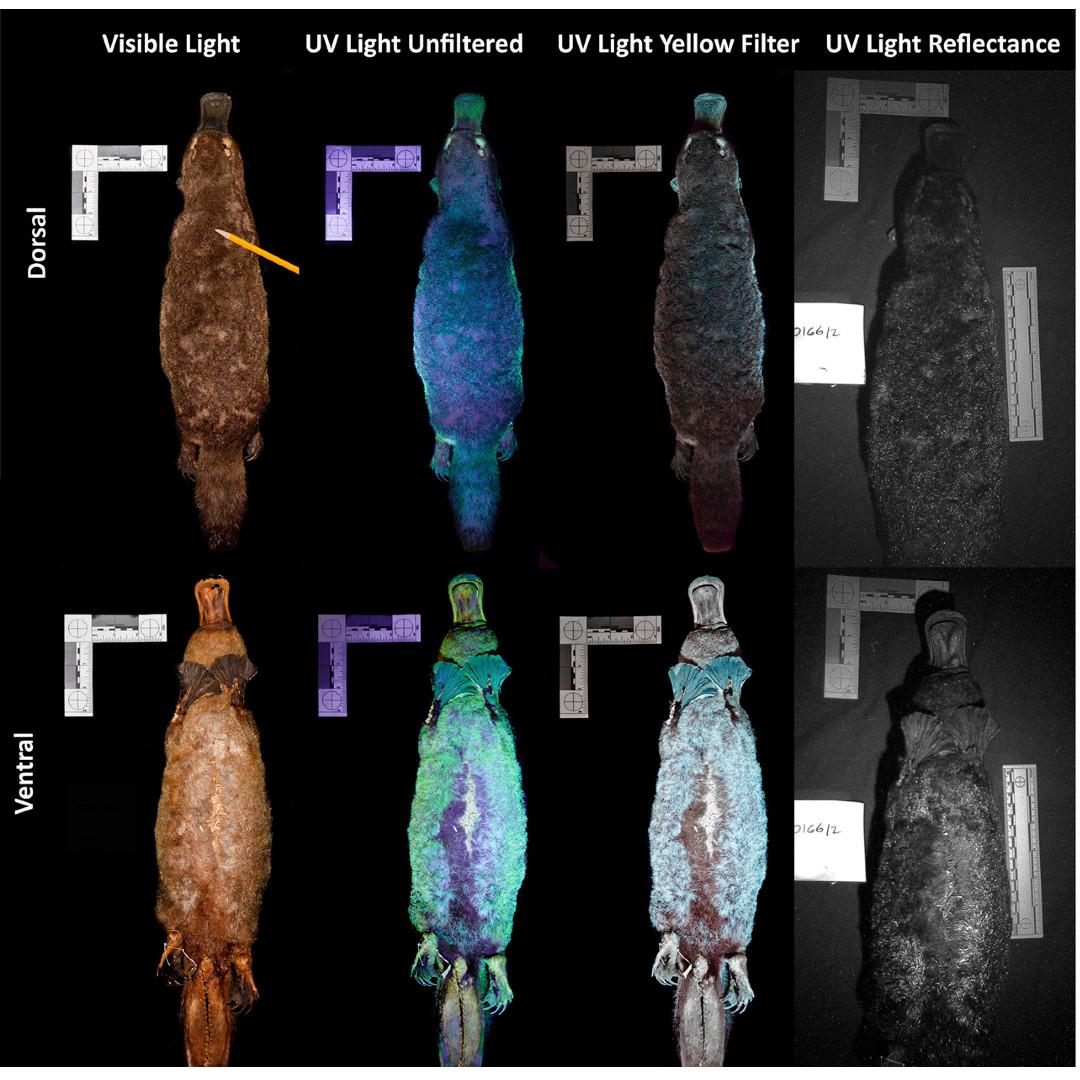 El ornitorrinco es un animal excepcional y por si fuera poco su piel es fluorescente