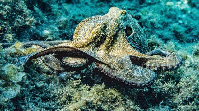 Estos son algunos datos curiosos sobre los pulpos y sus sorprendentes tentáculos