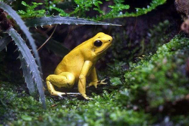 La rana dorada venenosa, el animal más venenoso del mundo
