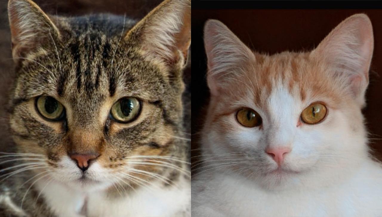 Estos gatos no existen, pero fueron creados por inteligencia artificial