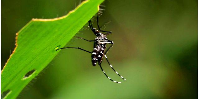 mosquito aedes egypti enfermedades que contagia
