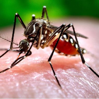 mosquito dengue transgenico aede aegypti