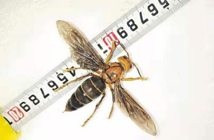 La «avispa asiática», nombre científico Vespa velutina es una especie invasora no nativa de Asia