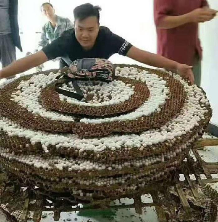 En la imagen: la colmena que asombró al experto en insectos, con un diámetro mayor que 2 m