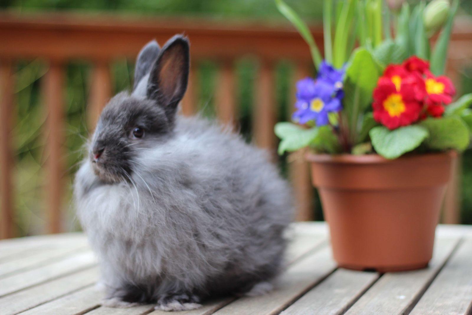 https://i0.wp.com/coelhos.animais.info/Imagens/angora-frances-preto.jpg