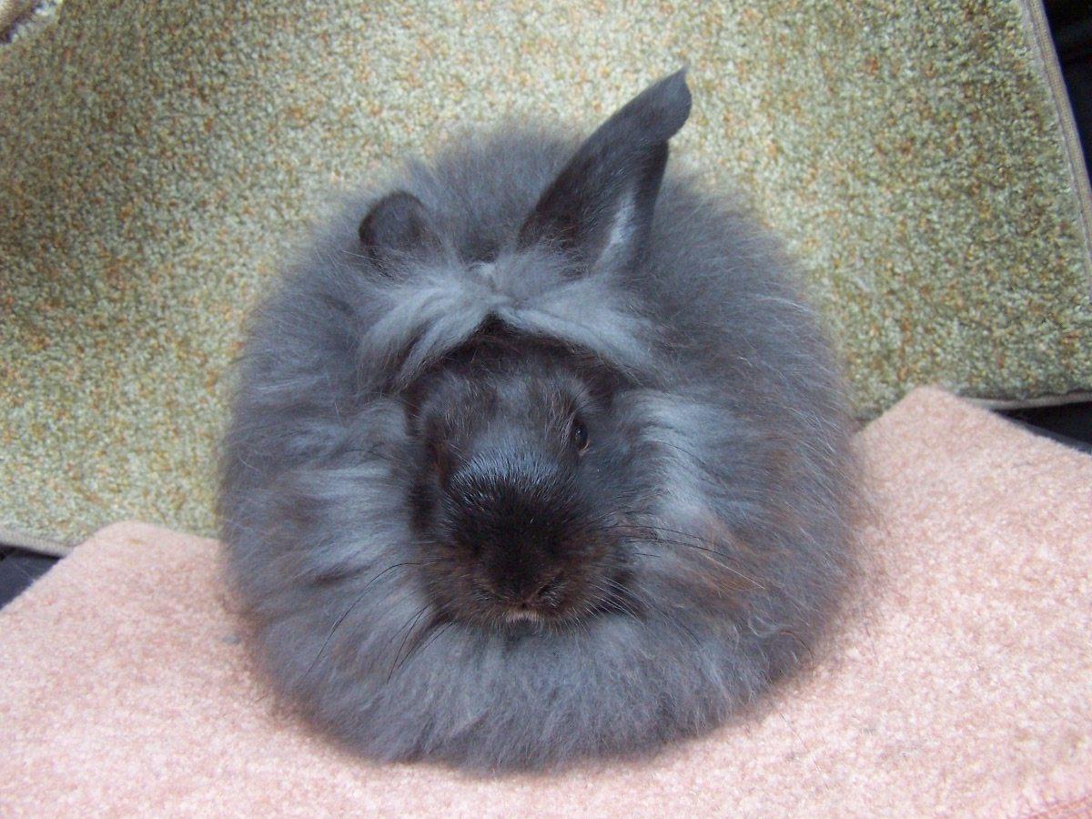 https://i0.wp.com/coelhos.animais.info/Imagens/angora-ingles.jpg