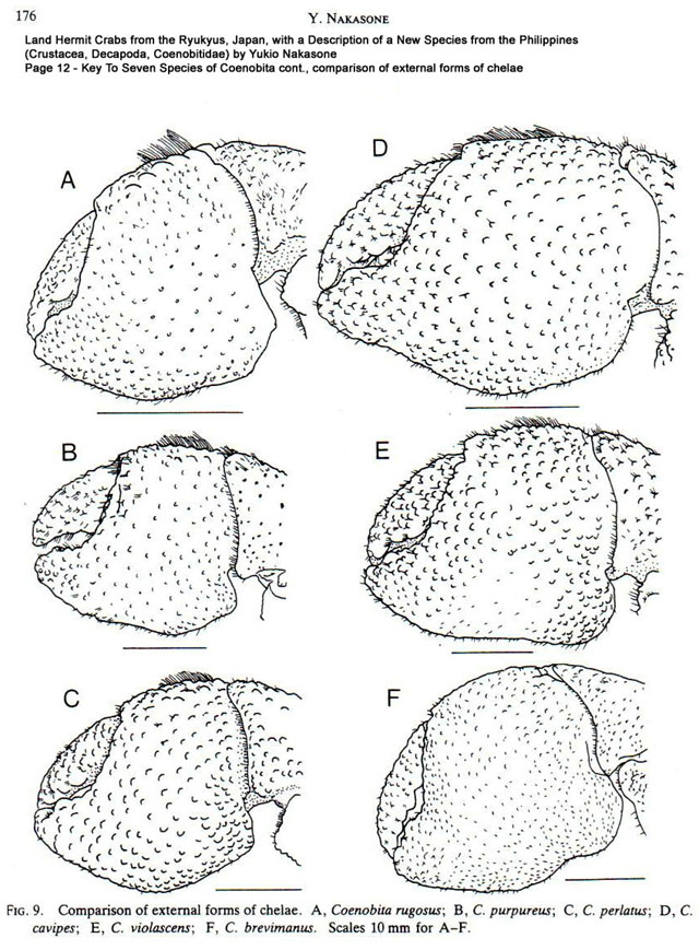Coenobita species cheliped comparison