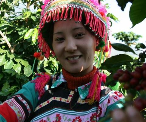 中国で雲南省でコーヒーを収穫