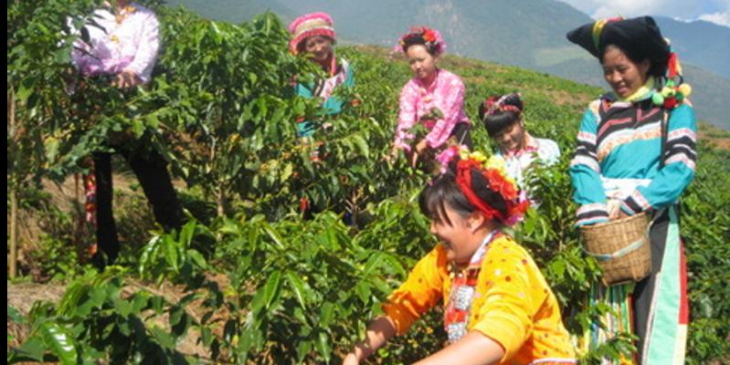 中国コーヒー収穫