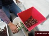 沖縄産コーヒーのコーヒーチェリーの果肉除去