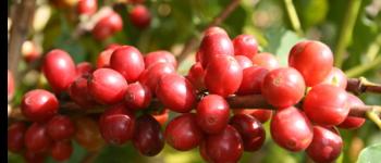 雲南アラビカコーヒー