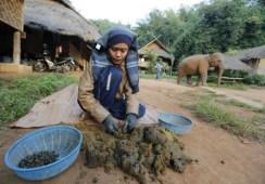 ゾウのうんちからコーヒー採る