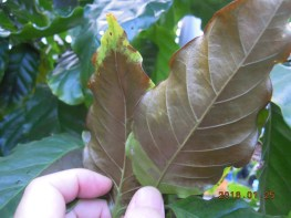 コーヒーの葉の変色