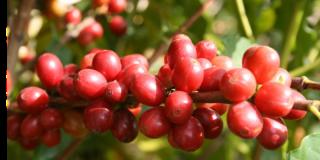 コーヒーチェリー赤
