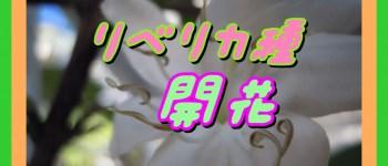 リベリカ種開花