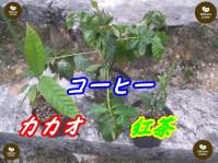 沖縄 紅茶