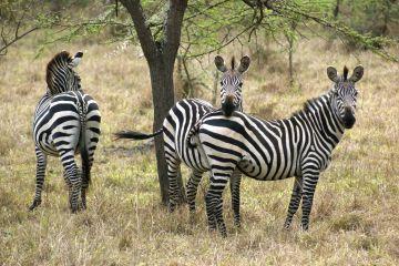 Zebras in Uganda (Africa)