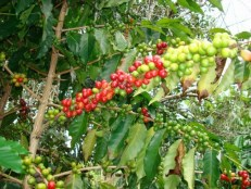 best rated kona coffee