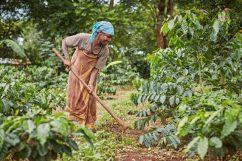 A coffee farmer cultivates her land in Tanzania