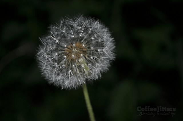 dandelion - courage night