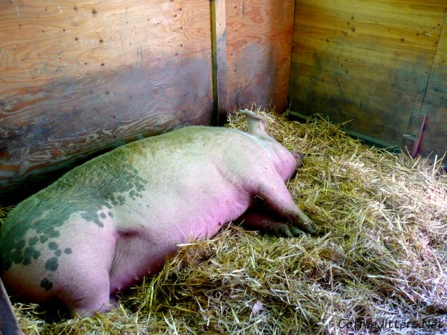 big pig at Farrel-McWhirter Farm Park