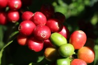 coffee cherries in different colour