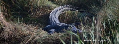 Alligator cloeup