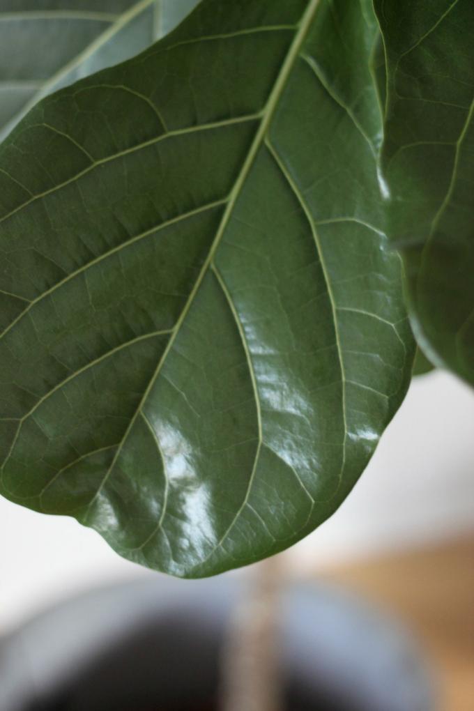 Viikunapuu fiddle leaf fig tree