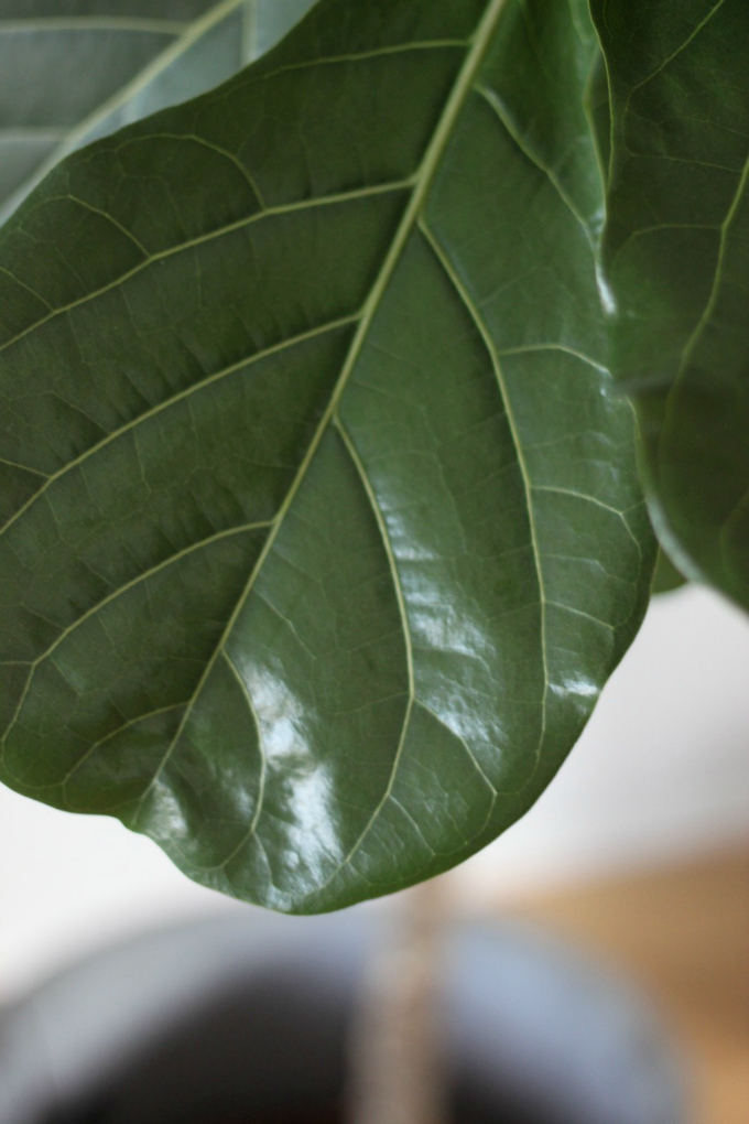 Viikunapuu fiddle leaf fig tree