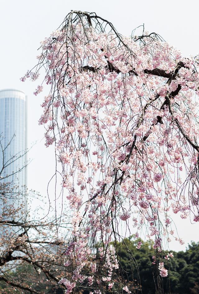 Sakura Kirsikankukat Tokyo-1