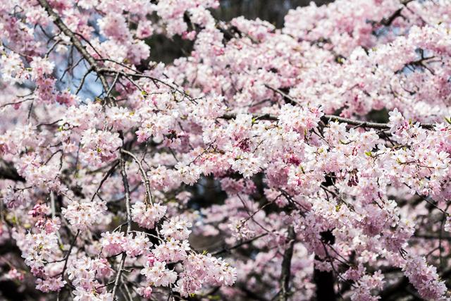 Sakura Kirsikankukat Tokyo-10