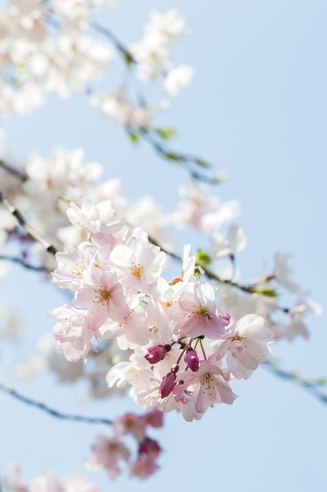 Sakura Kirsikankukat Tokyo-4