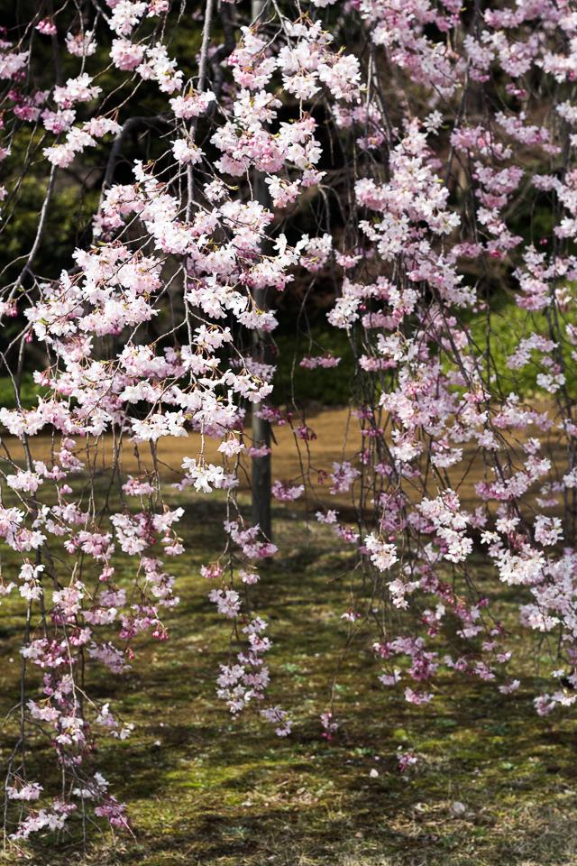 Sakura Kirsikankukat Tokyo-9