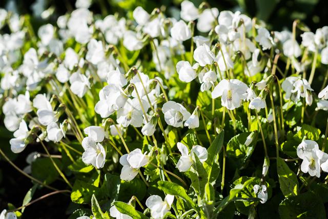 Puutarhassa kukkii 2017-3