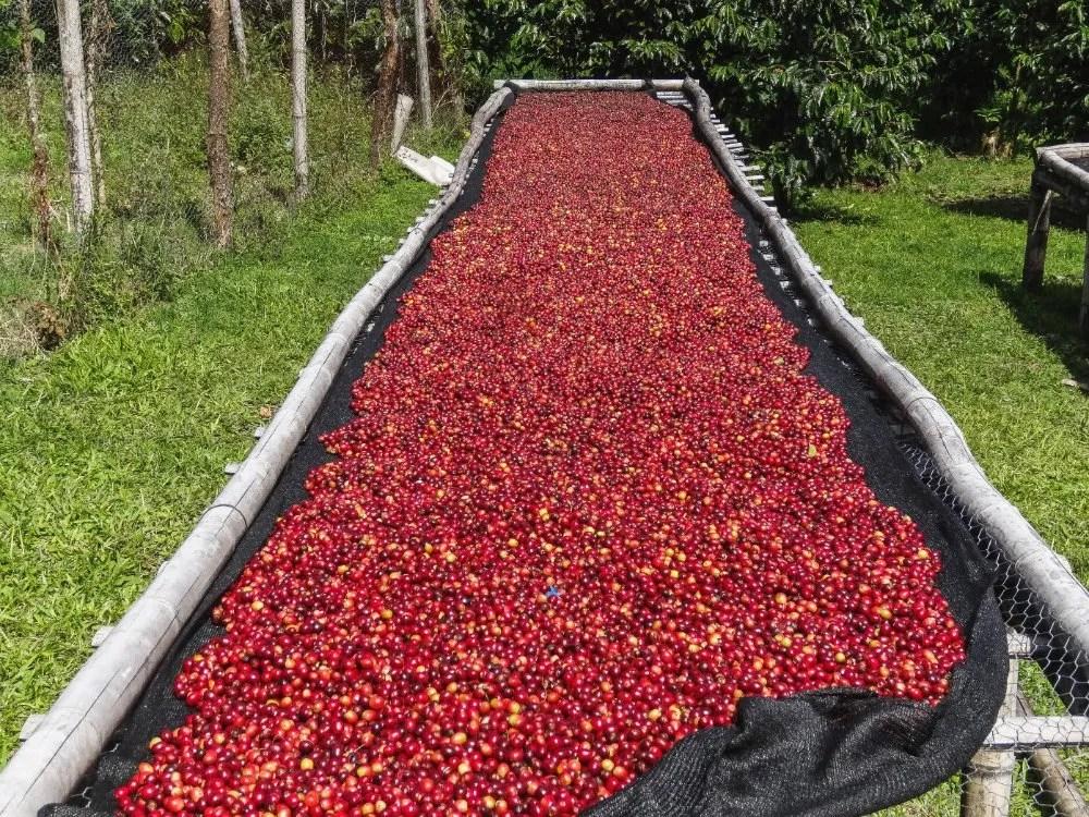 panama geisha coffee drying
